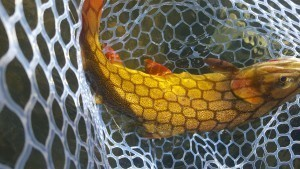 netted fish