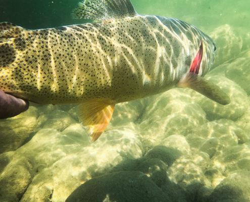 Underwater photo of cutthroat trout in the snake river
