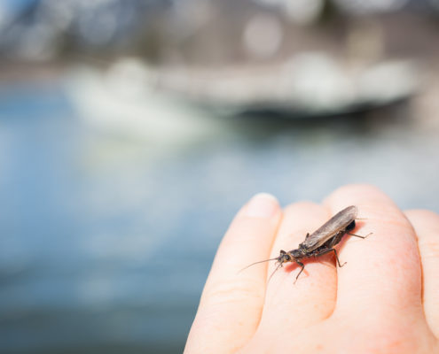 A stonefly crawls on hand of fly fisherman