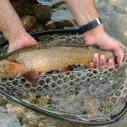 Cutthroat trout caught in Jackson Hole